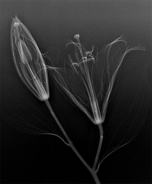 Radiograph of Tiger  Lily