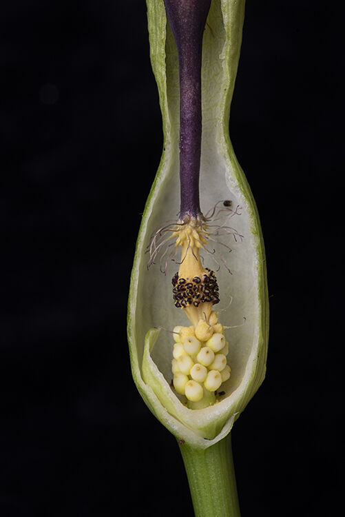 Lords and Ladies, or Cuckoo Pint: Arum maculate. Cut section through spathe to reveal flowers.