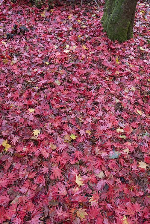 Fallen Maple leaves (Acer sp.) in autumn