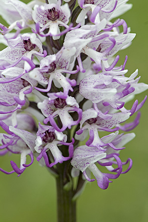 Monkey Orchid (Orchis simia), Oxfordshire
