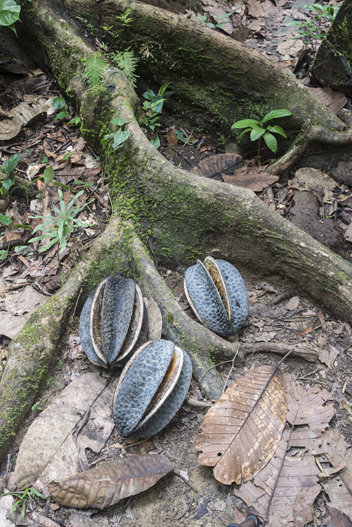 Huge fruits of Neesia sp. a tropical hardwood tree of Borneo