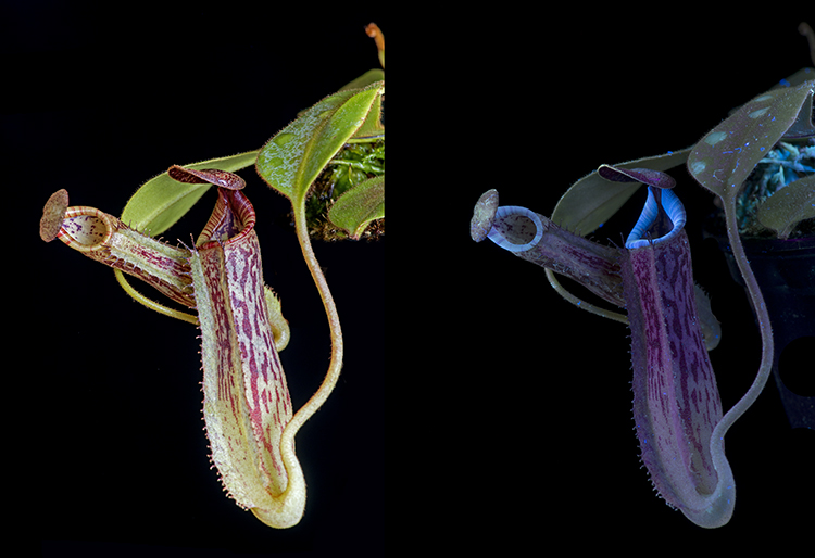 Carnivorous plant: Nepenthes fusca, in visible light, and fluorescing in UV light.