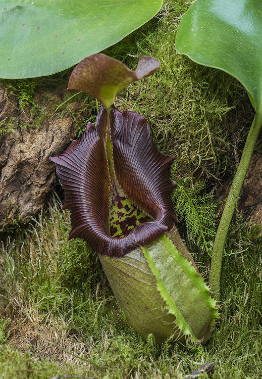 Carnivorous Pitcher Plant: Nepenthes robcantleyi