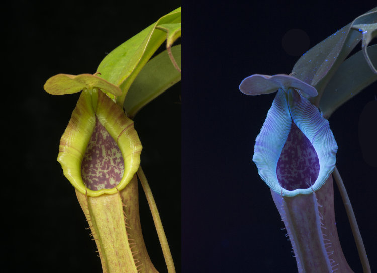 Carnivorous plant: Nepenthes spathulata, in visible light, and fluorescing in UV light.