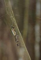 Golden Orb Spider (Nephilia sp. )