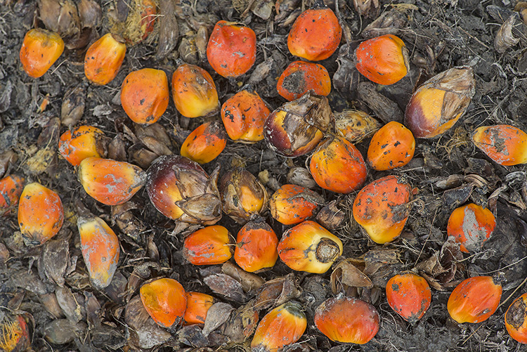 Seeds of Oil Palm, Sabah, Borneo