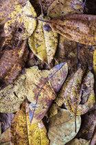 Ormondei Imperial Moth (Eacles ormondei)