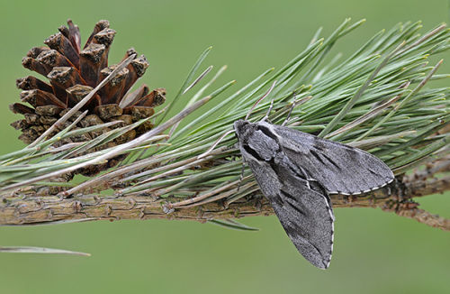 Pine Hawk Moth (C)