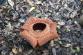 Rafflesia keithii. Poring, Sabah, Borneo