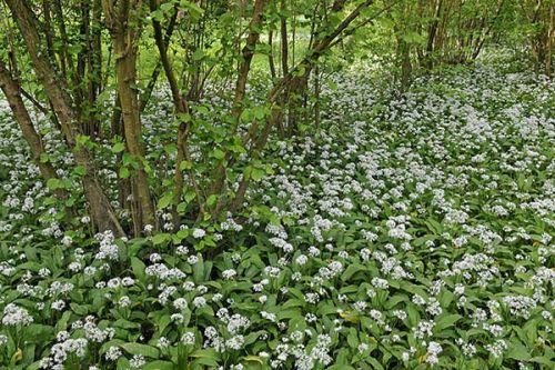Ramsons, or Wild Garlic. Surrey.