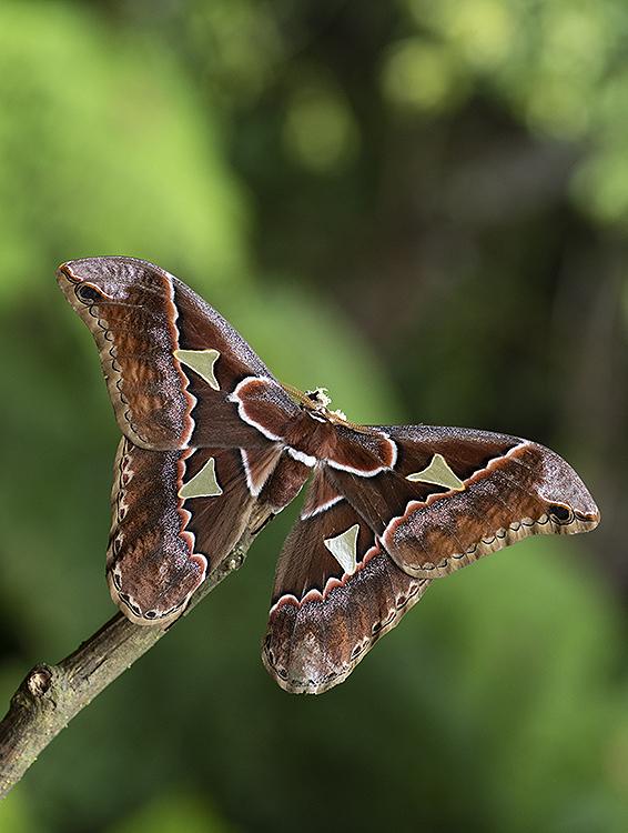 Silkmoth (Rothschildia triloba)