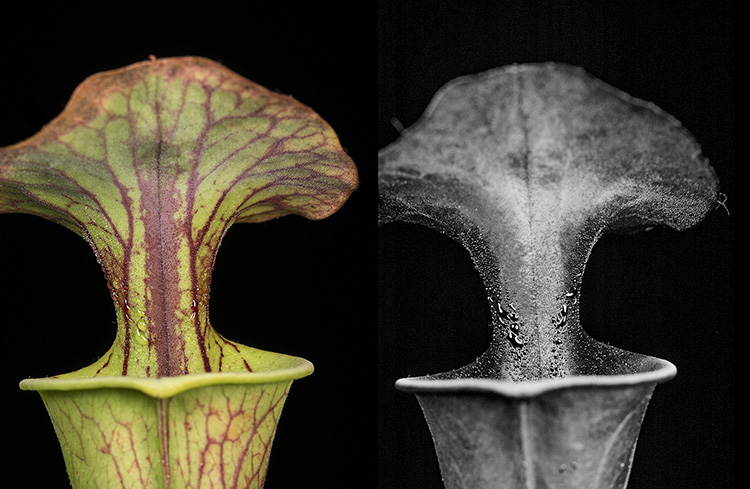 Carnivorous pitcher plant: Sarracenia flava in visible light, and fluorescing in UV light.