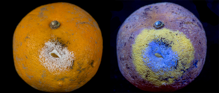 Mould on Satsuma, in visible light, and fluorescing in UV light
