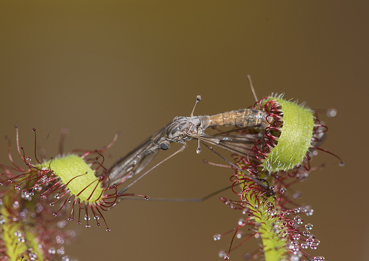 Long Leaved Sundew (Drosera capensis) with captured cranefly