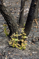 Birch seedlings appearing just two weeks after a devastating fire on Thursley Common National Nature Reserve, Surrey, 2006