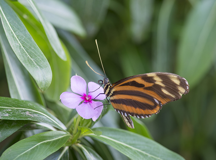 Tiger Longwing: Heliconius hecale, on Madagascar Periwinkle (Catharanthus roseus)