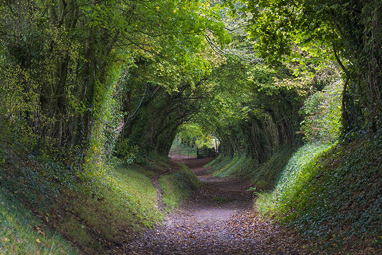 Tree Tunnel, Halnaker Mill, Sussex, UK.
