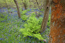 The alga Trentepohlia, growing on an oak trunk, in a Surrey Bluebell wood