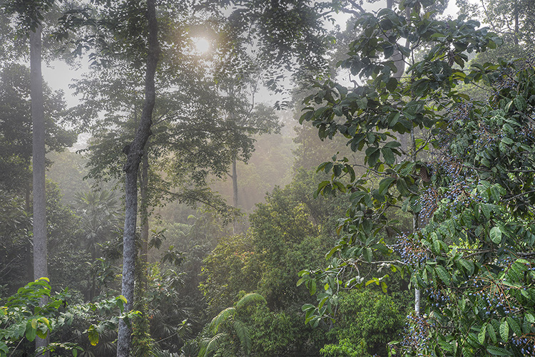 Primary Tropical Rainforest, early morning. Sepilok, Sabah, Borneo