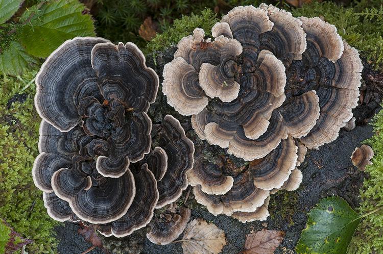 Turkeytail fungus: Trametes versicolor