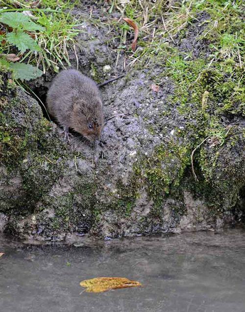 Water Vole, Sussex, England
