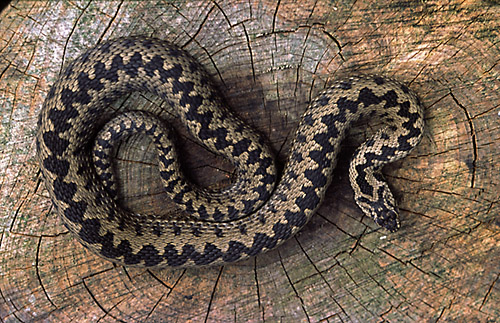 Adder (Vipera berus) Sussex, England