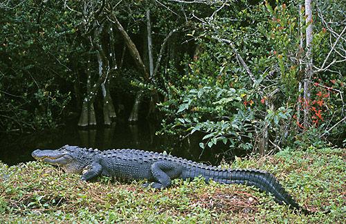 Alligator (Alligator mississippiensis)  Everglades, Florida