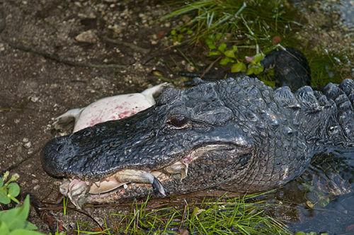 Alligator with turtle prey. Everglades