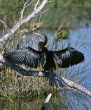 Anhinga, or Snake-Bird (Anhinga anhinga) drying its' wings.  Everglades, Florida