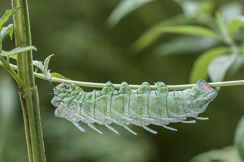 Caterpillar of Atlas Moth