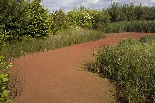 Water Fern (Azolla filicoides)