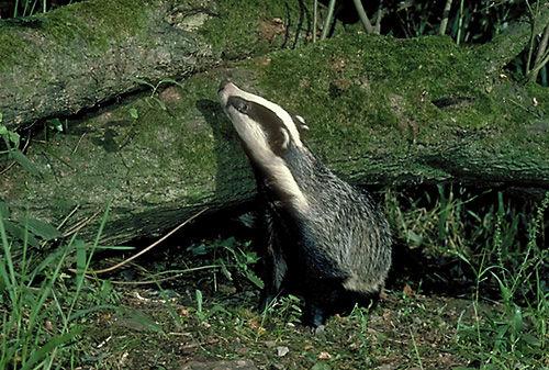 Badger (Meles meles) Devon, England