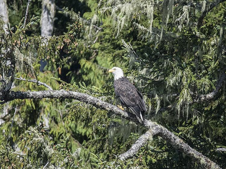 Bald Eagle, Vancouver Island, Canada.