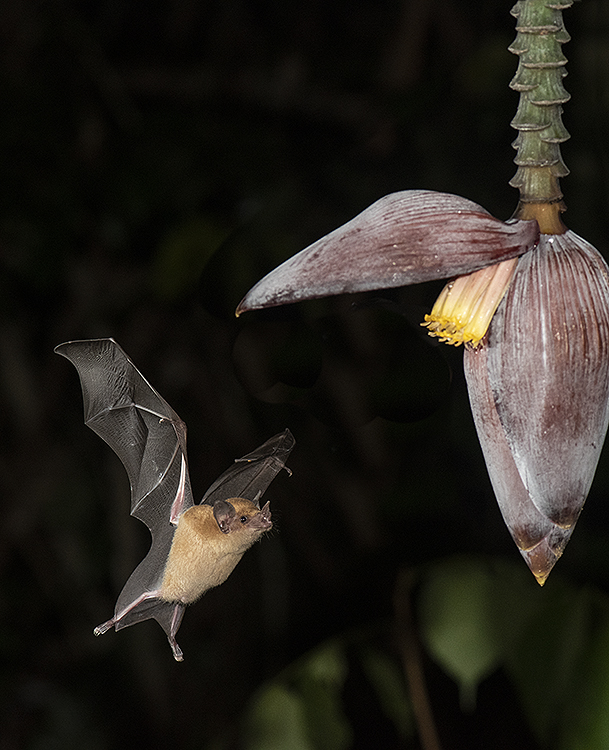 Leaf-nosed bat (Phyllostomidae sp).