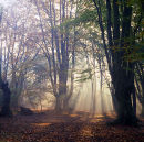 Beechwood (Fagus sylvatica) Sunrise. Epping Forest, Essex,