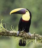Black Mandibled Toucan (Ramphastos ambiguus)