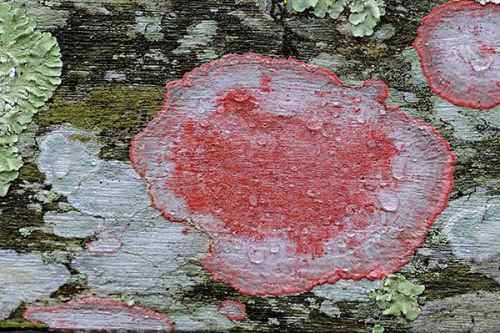 Blood Lichen. Corkscrew Swamp, Florida