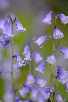"""Bluebells with """"mushy"""" background"""
