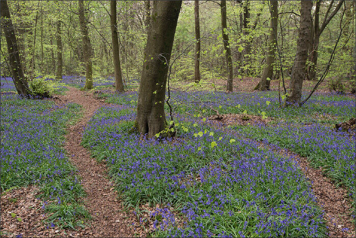 Bluebell woodland with no sky.