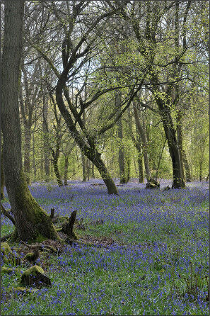 """Bluebells shot in """"bright overcast"""" conditions"""