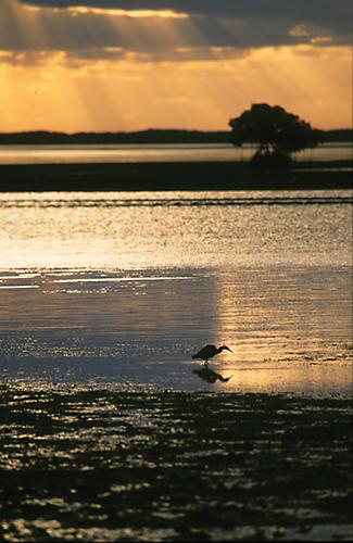 Little Blue Heron (Egretta caerulea)  Sunrise, Everglades, Florida