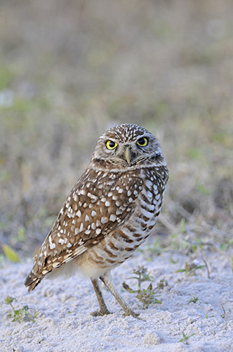 Burrowing Owl, Cape Coral, Florida
