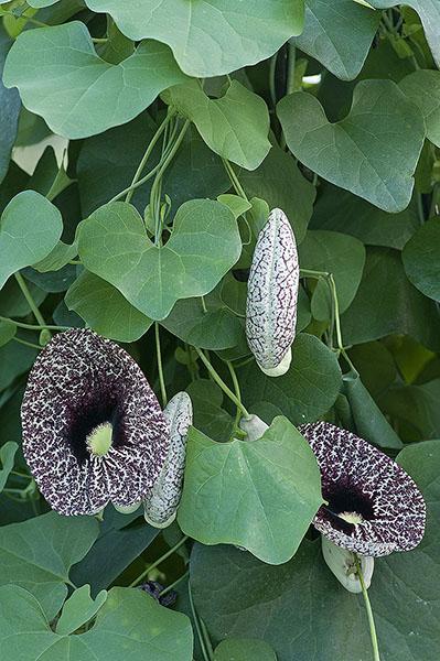 Calico Flower: Aristolochia littoralis.