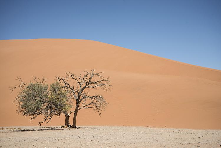 Camel Thorn Tree under sand dune. Sossusvlei, Namibia.