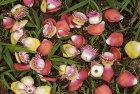 Flowers of Cannonball Tree (Couroupita guianensis)
