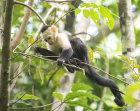 White Faced Capuchin (Cebus capucinus)