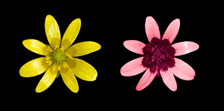 Lesser Celandine (Ranunculus ficaria) in visible and UV light