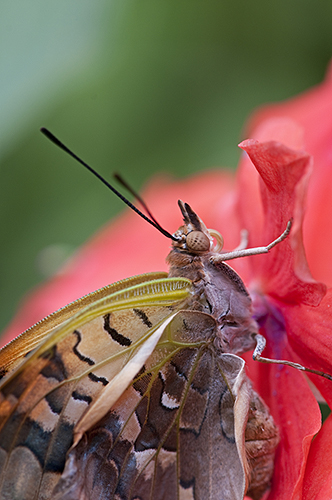 Tropical butterfly: Charaxes sp.