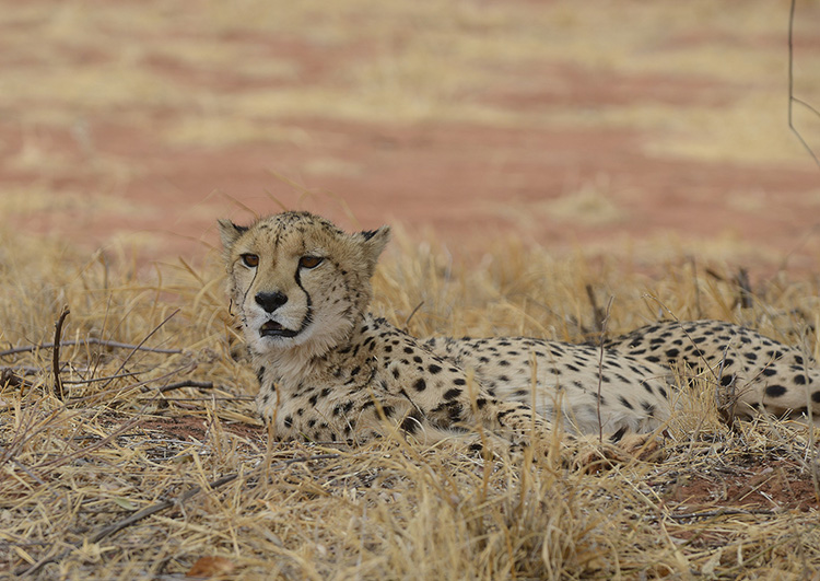 Cheetah, Namibia