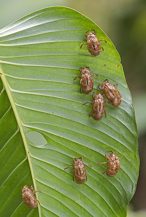 Cast larval cases of Cicadas